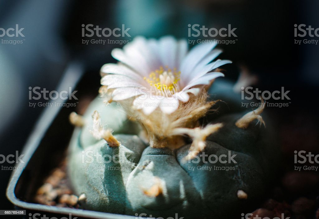 peyote mescaline lophophora williamsii stock photo