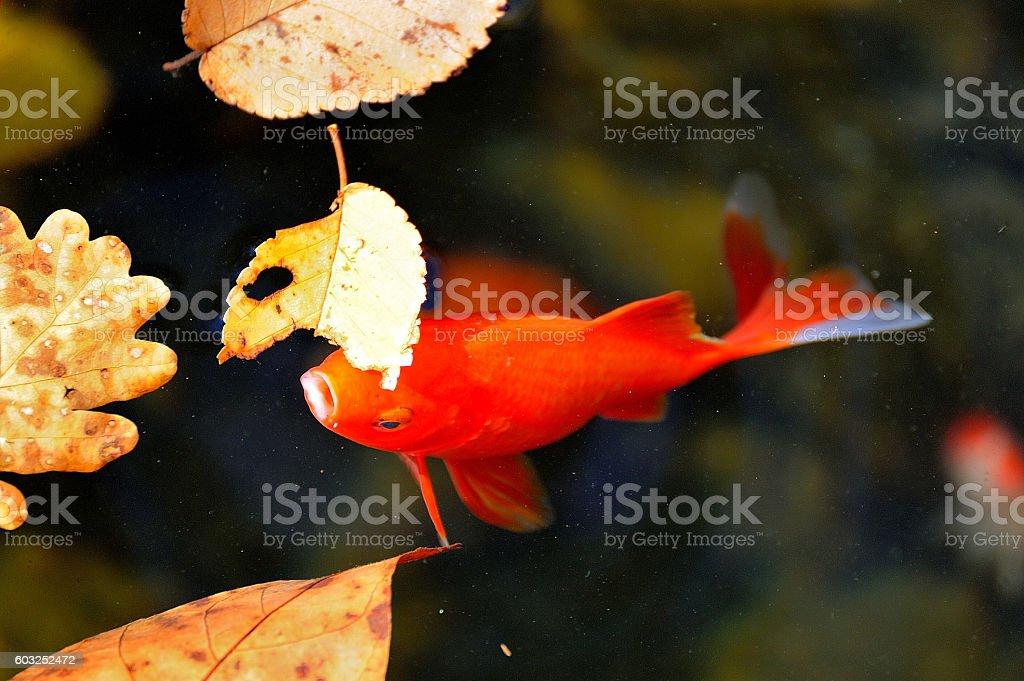 pez rojo royalty-free stock photo