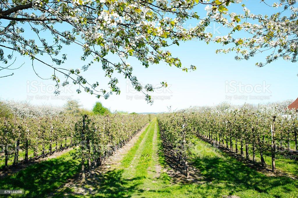 Äpfeln im Alten Land stock photo