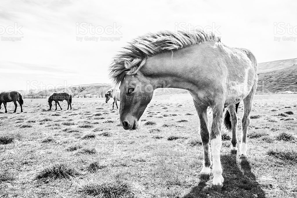 Pferd, Island royalty-free stock photo