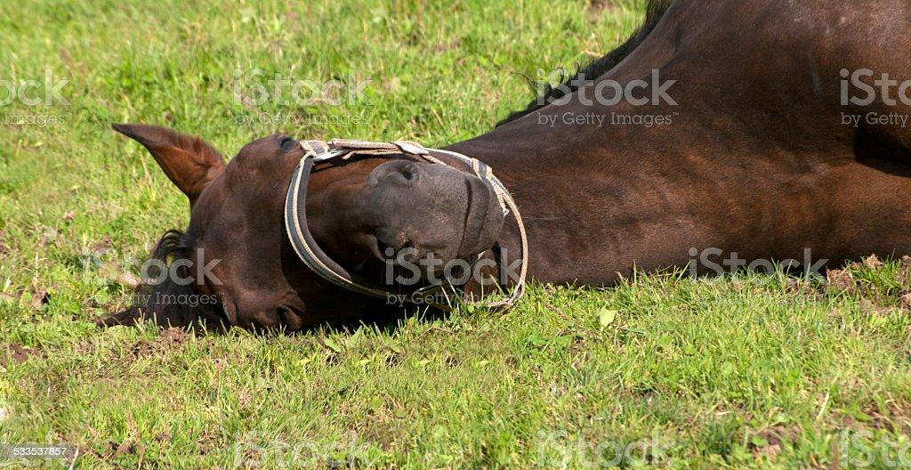Pferd schl?ft auf der Koppel stock photo