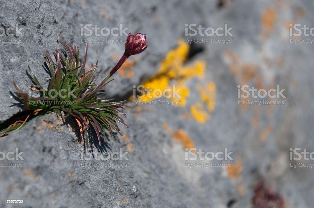 Pflanze auf Fels, Irland royalty-free stock photo