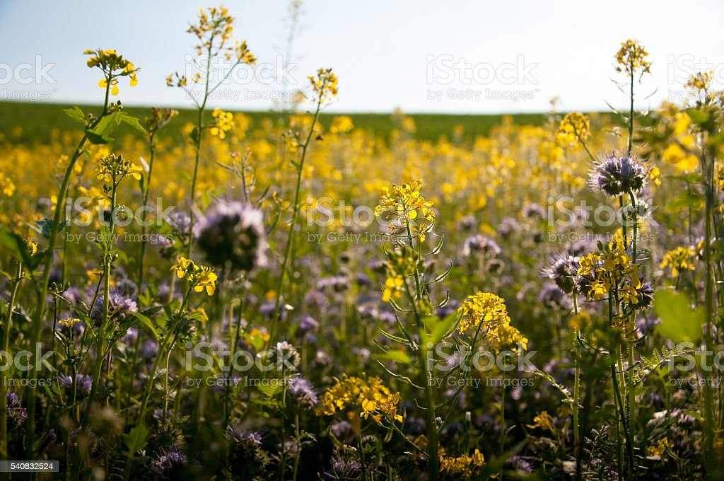 Phacelia and rape field stock photo
