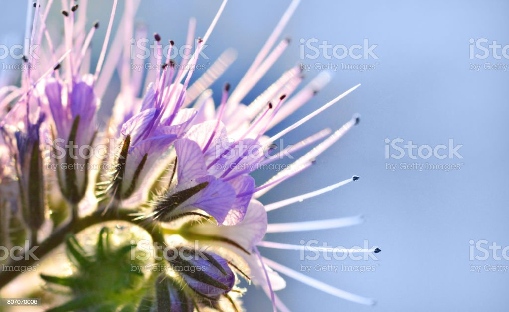 Phacelia Crenulata Flower stock photo