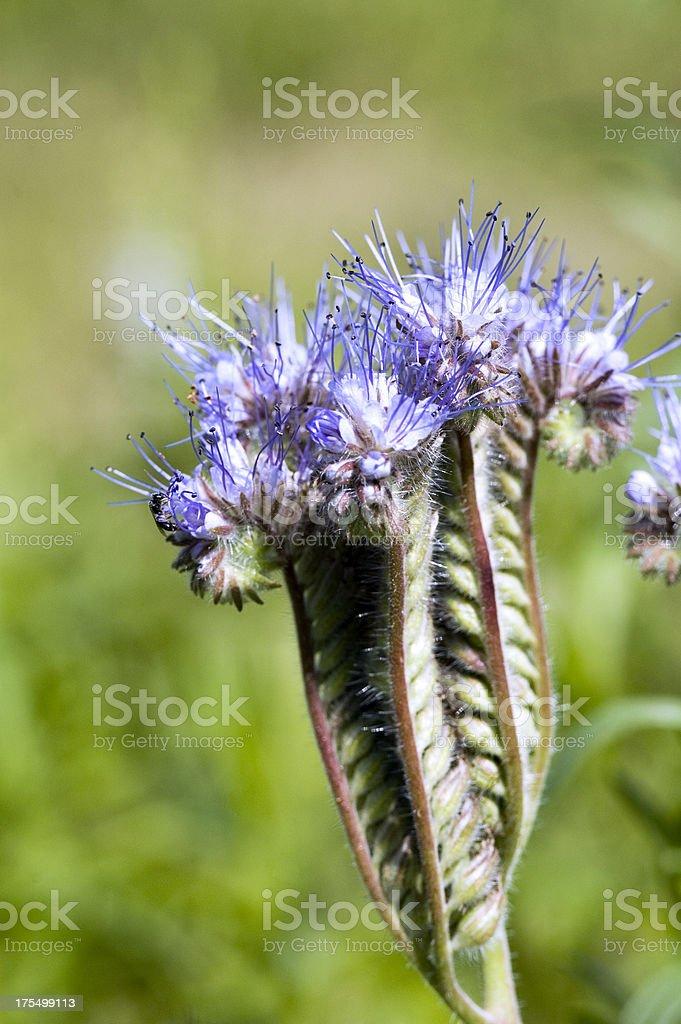 Phacelia Flower. royalty-free stock photo