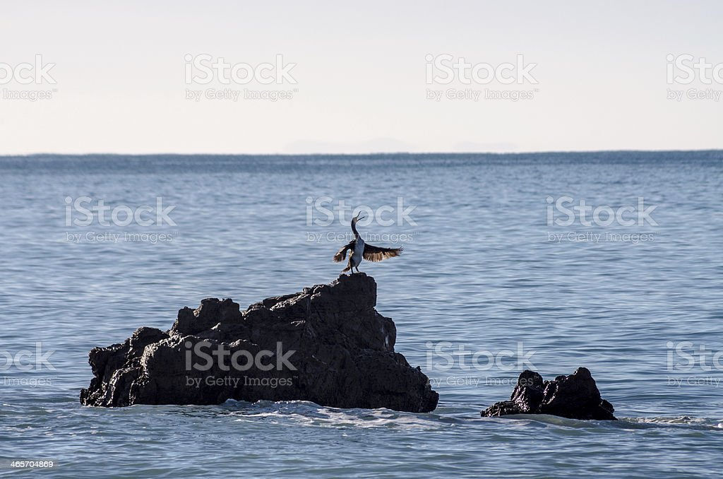 Phalacrocorax Aristotelis royalty-free stock photo