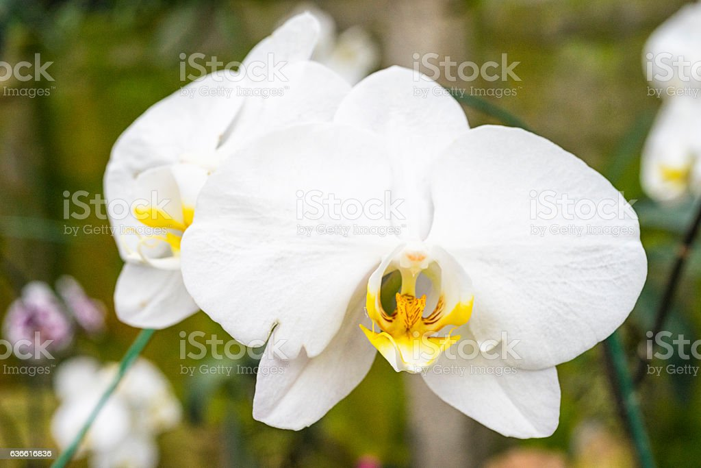 phalaenopsis amabilis blume orchid stock photo