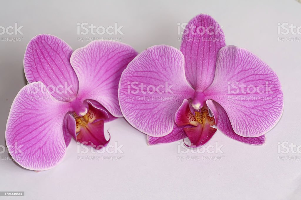 phalaenopsis bud on white background royalty-free stock photo