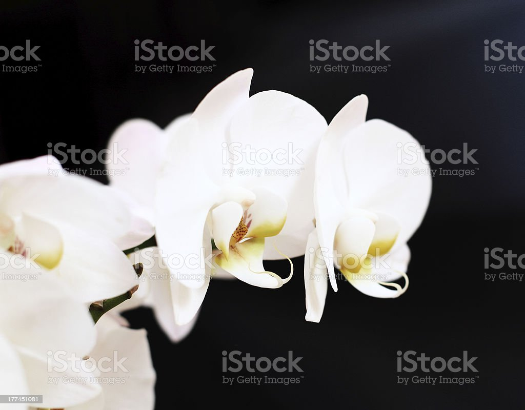 Phalaenopsis flower royalty-free stock photo