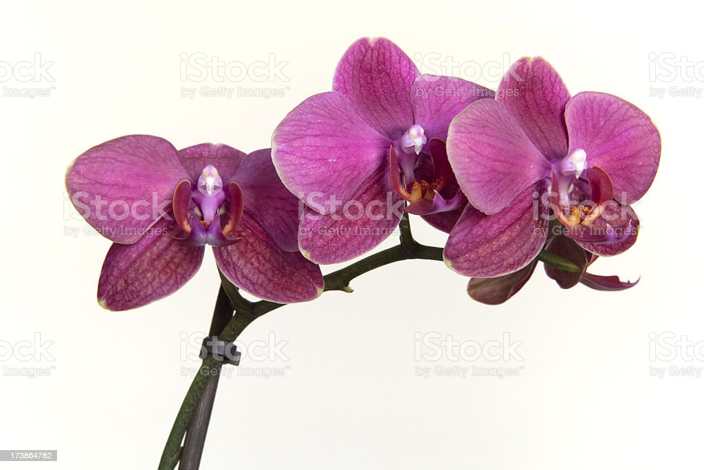 Phalaenopsis or Moth Orchid royalty-free stock photo