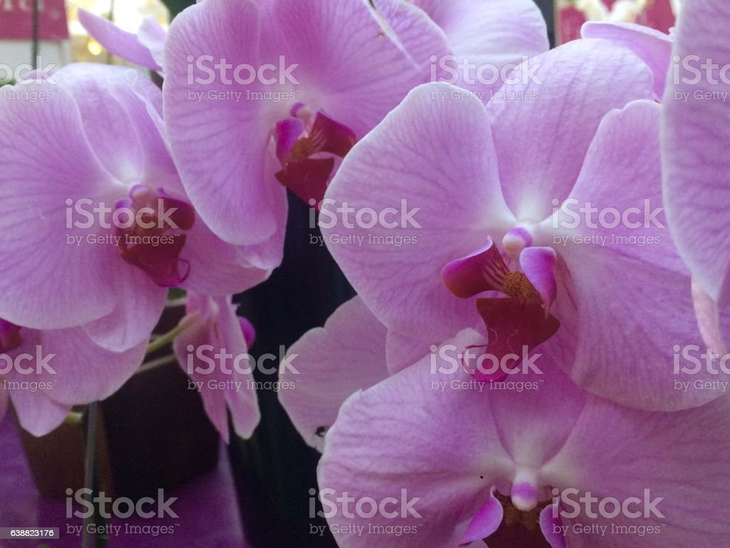 Phalaenopsis Orchid - Big Head stock photo