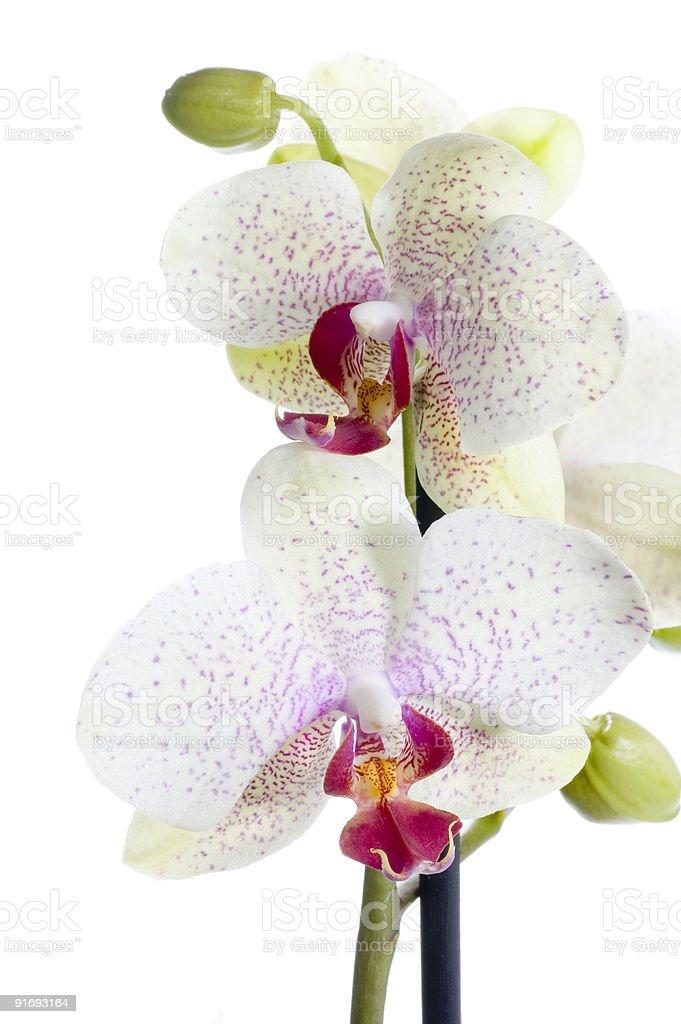 Phalaenopsis Orchid Isolated on White royalty-free stock photo