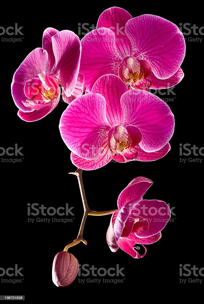 Phalaenopsis Orchid royalty-free stock photo