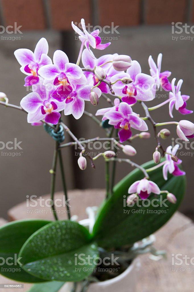 Phalaenopsis orchid stock photo