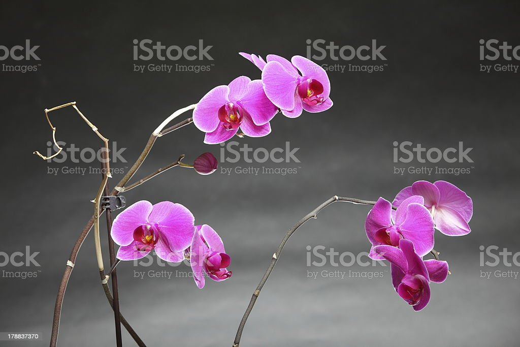 Phalaenopsis. Purple orchid on gray background royalty-free stock photo