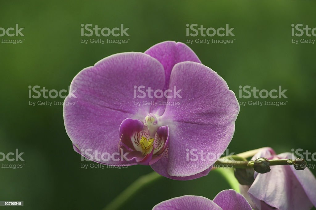 Phalaenopsis Purple Orchid royalty-free stock photo