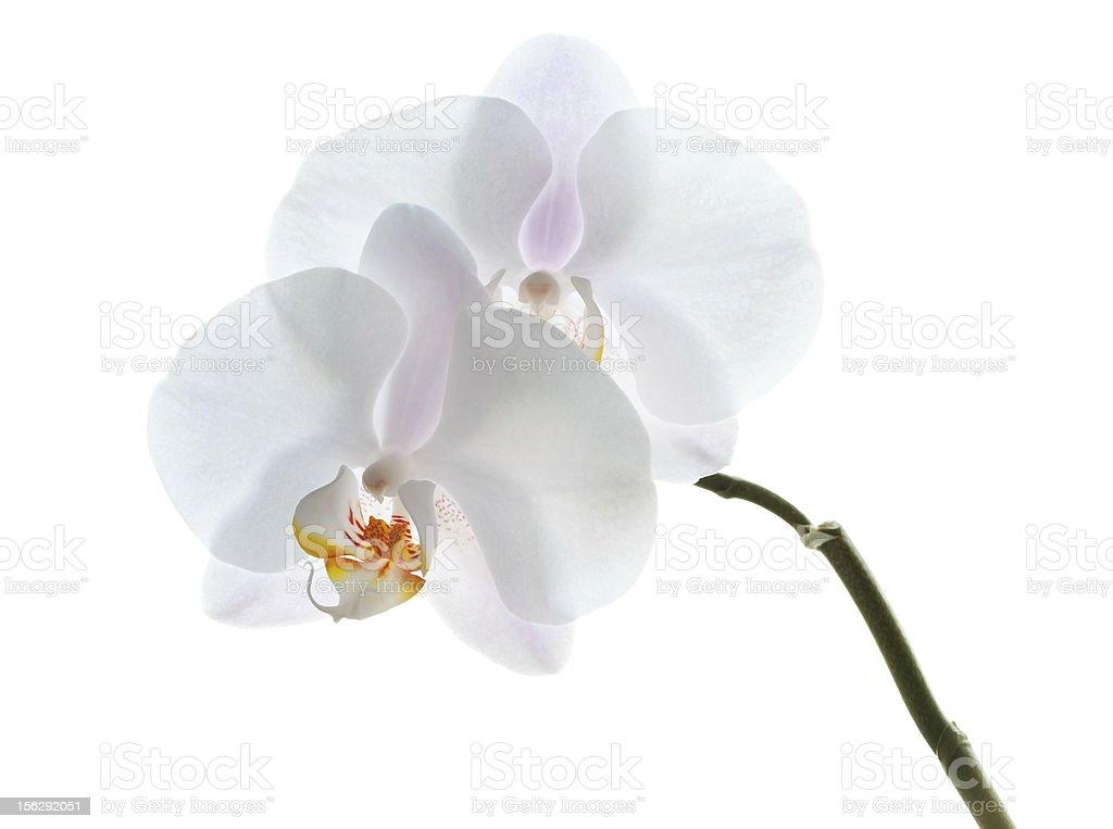 Phalaenopsis. White orchid flowers isolated royalty-free stock photo