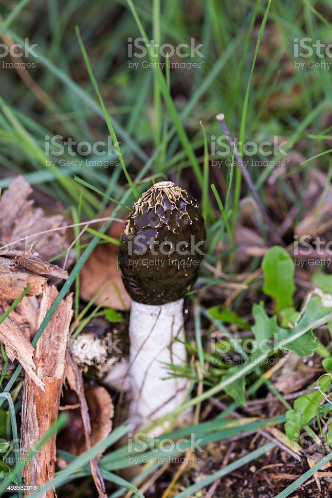 Phallus impudicus stock photo