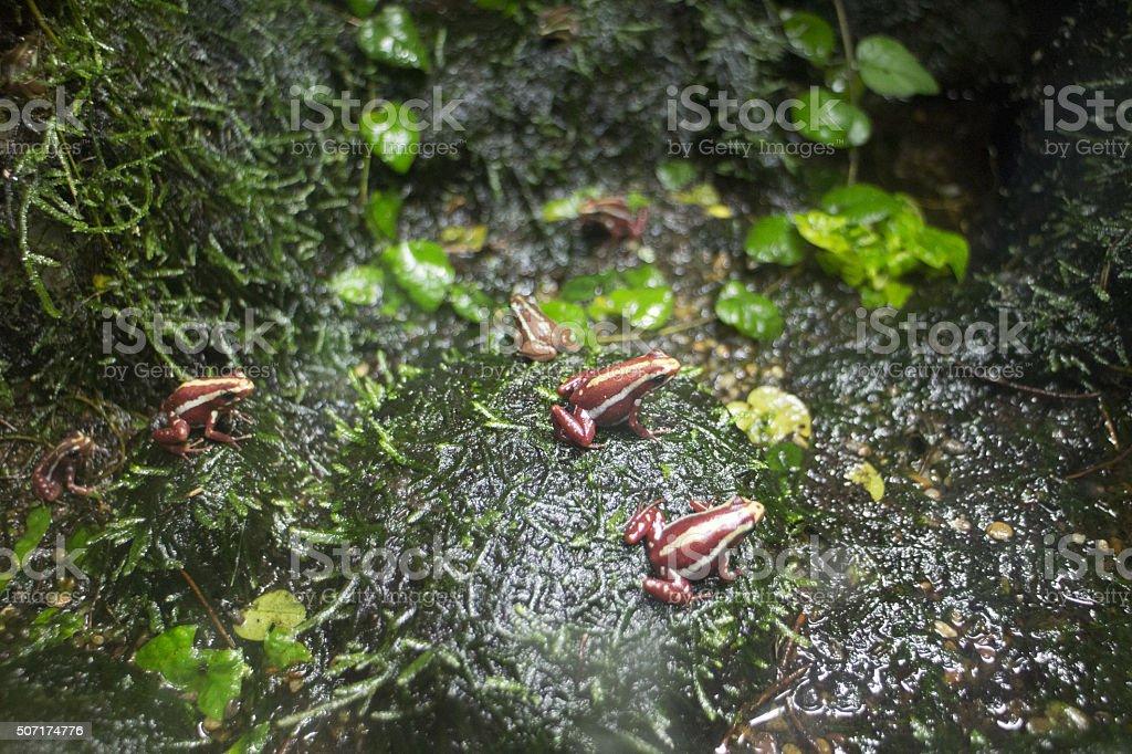 Phantasmal poison frog stock photo