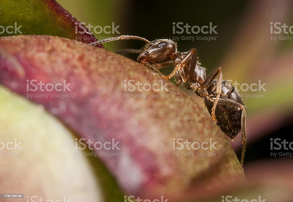 Pharaoh ant on peony stock photo