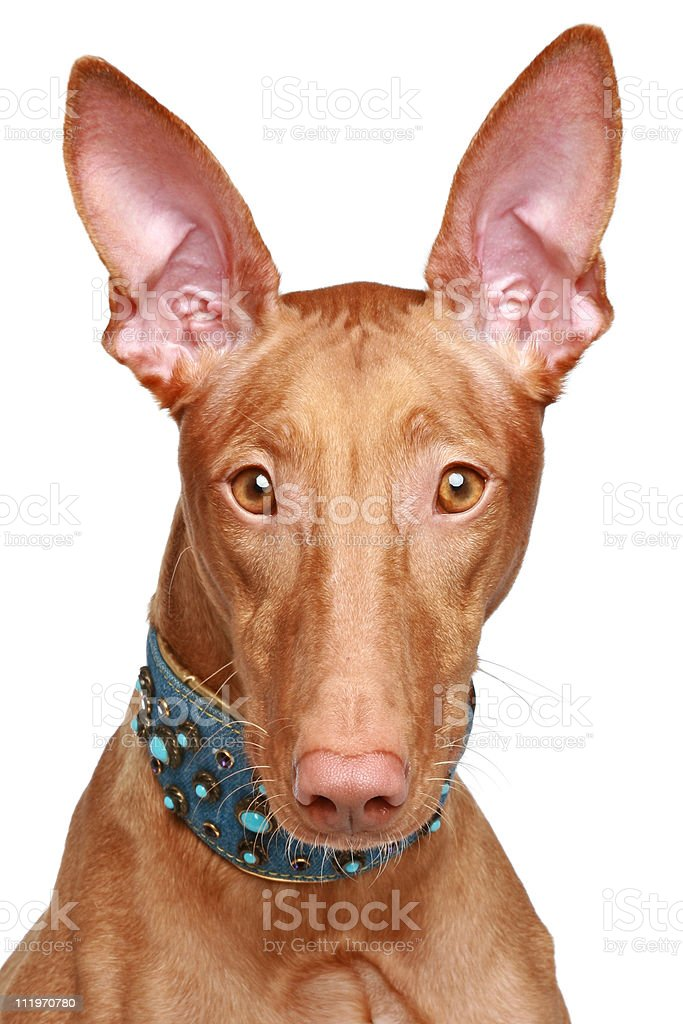 Pharaoh hound close-up portrait royalty-free stock photo