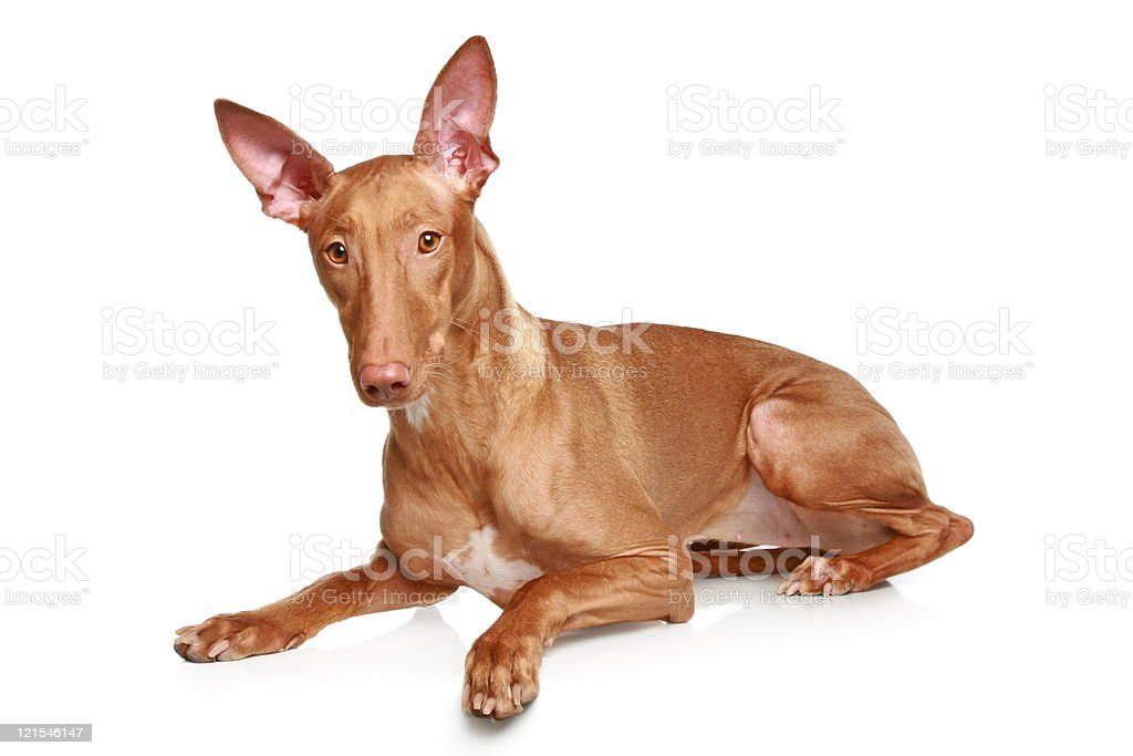 Pharaoh hound on a white background royalty-free stock photo