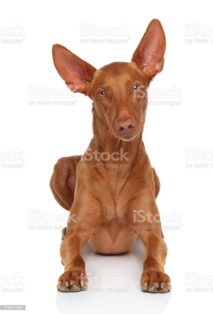 Pharaoh Hound on white stock photo
