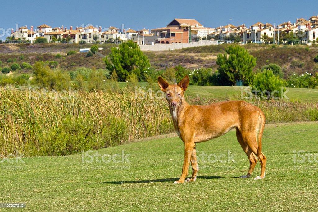 Pharaoh Hound stock photo