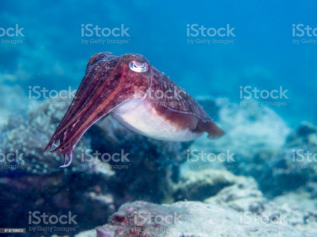 One Wild Cuttlefish or Cephalopod, is swimming underwater in the...