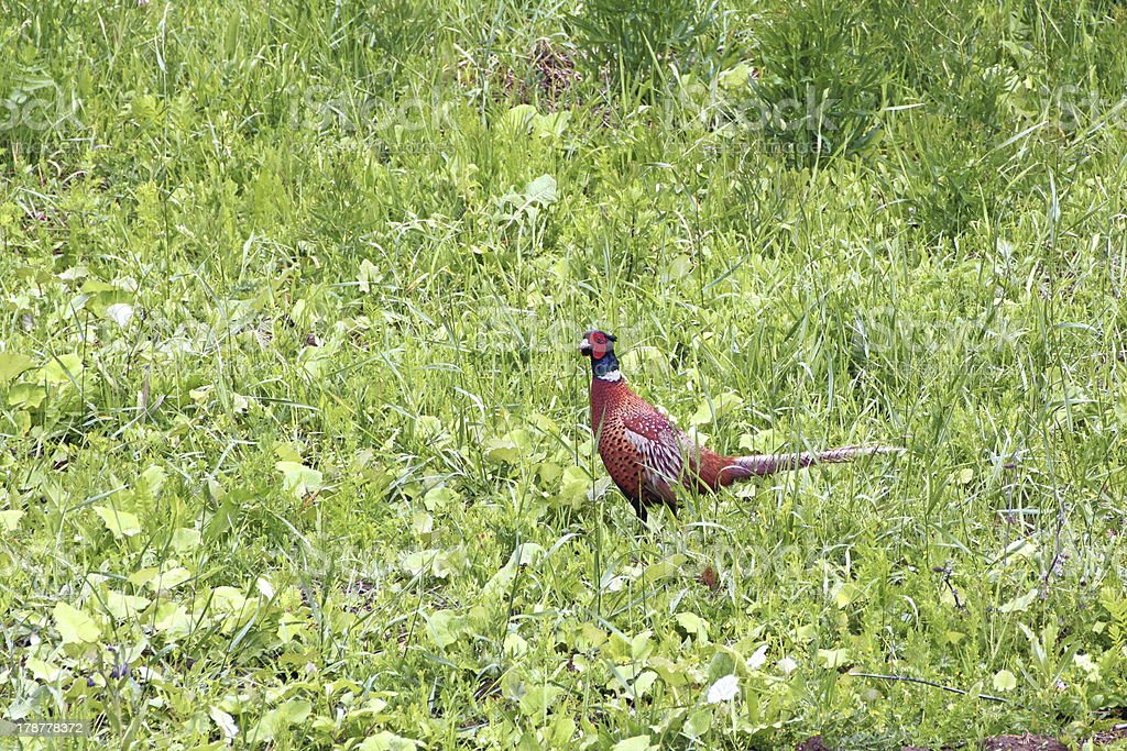 phasianus male in the grass royalty-free stock photo