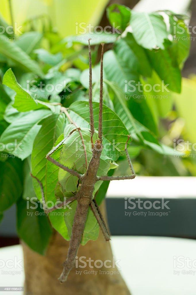 Phasmatodea, Stick insects stock photo