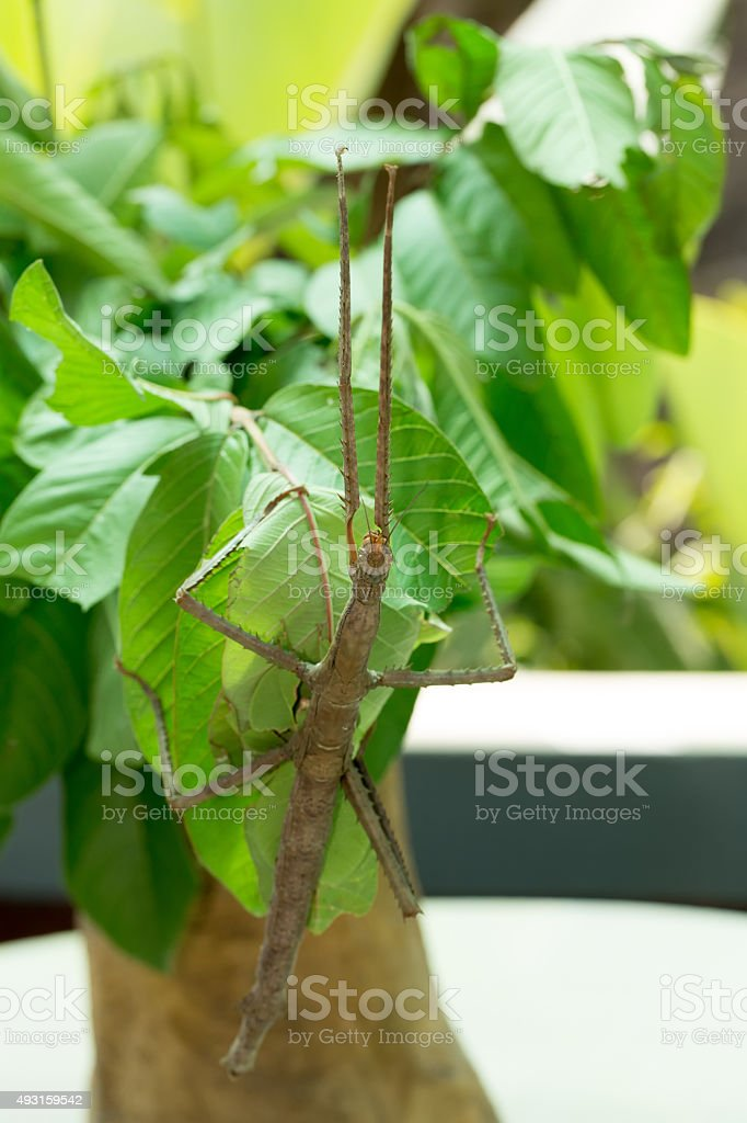 Phasmatodea, Stick insects stock photo