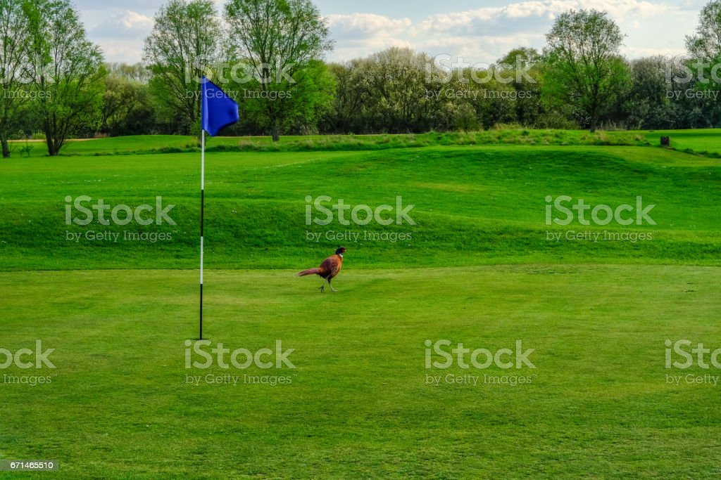 Pheasant bird strolling on  golf course green stock photo