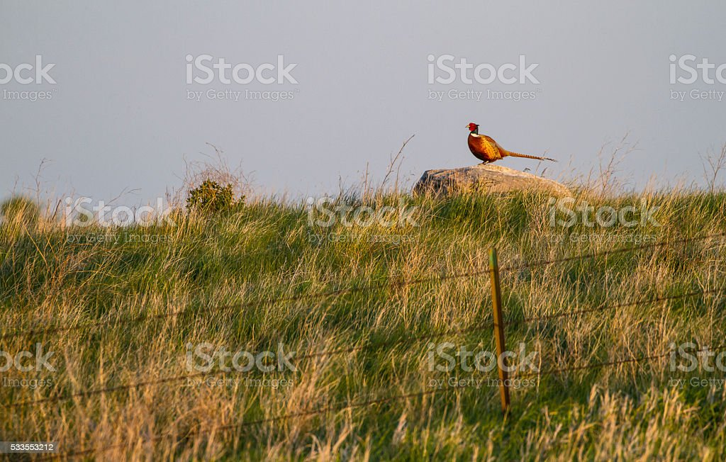 Pheasant Boss stock photo