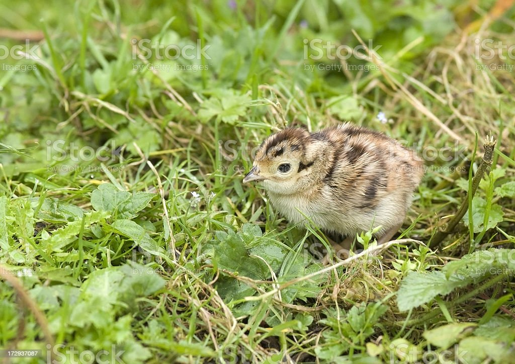 Pheasant Chick (Phasianus colchicus) royalty-free stock photo