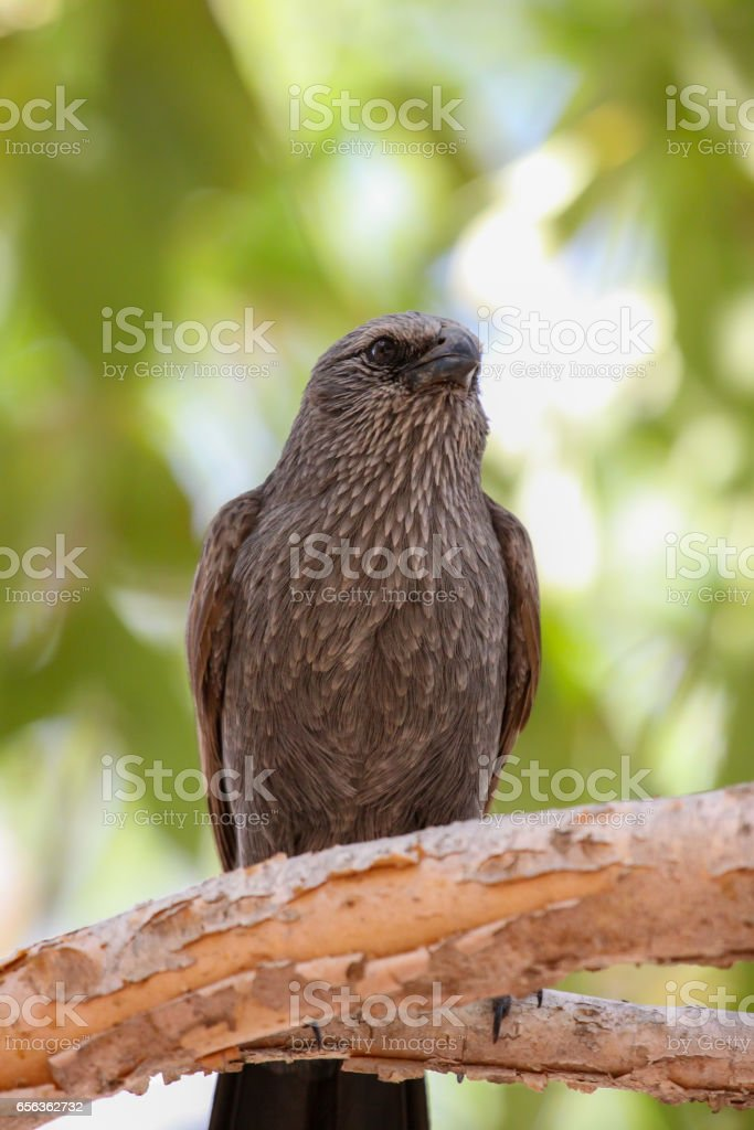 Pheasant coucal sitting on a branch with green background stock photo