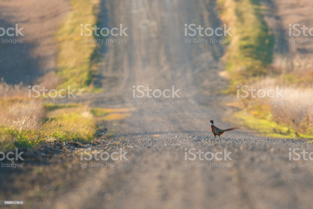 Pheasant Crossing the Road stock photo