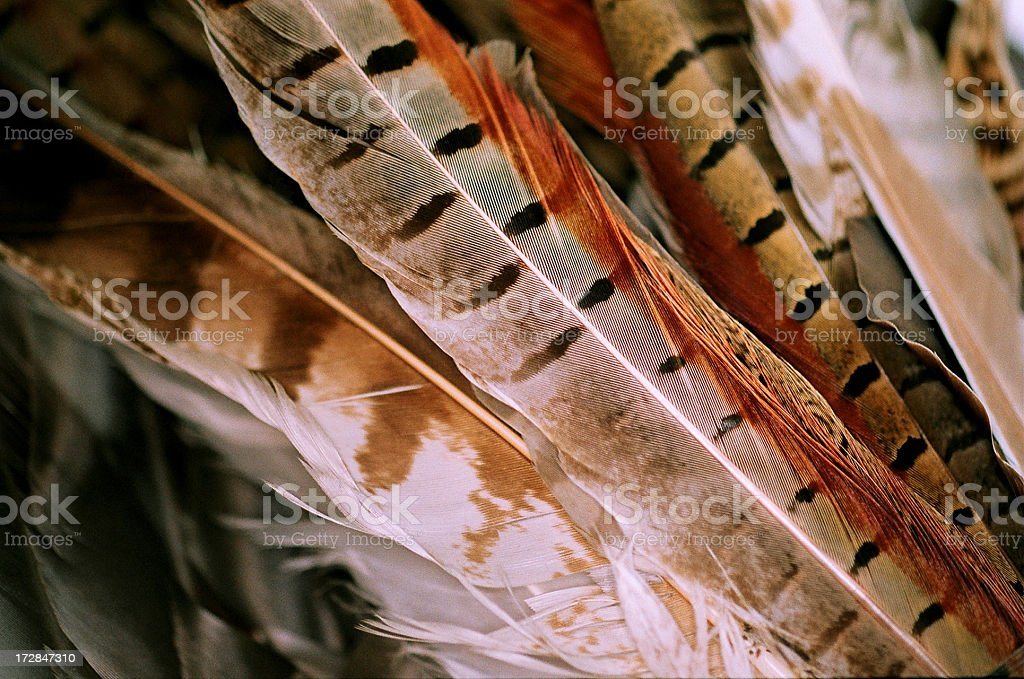 Pheasant Feather stock photo