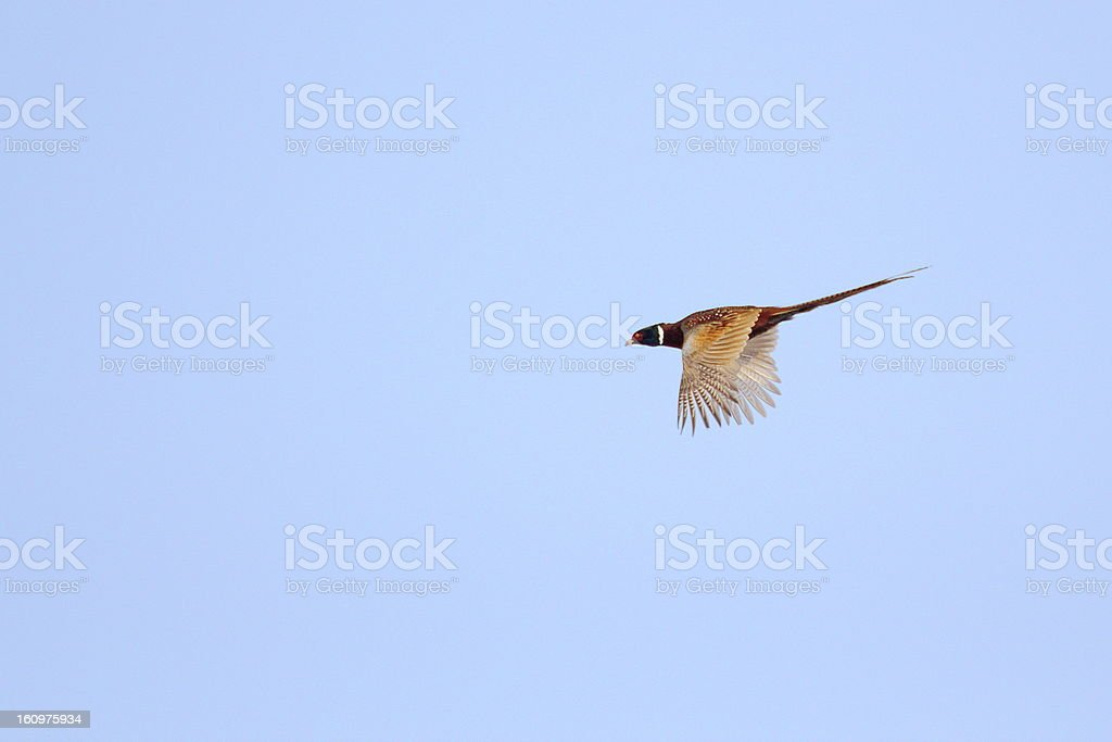 pheasant flying in the sky stock photo