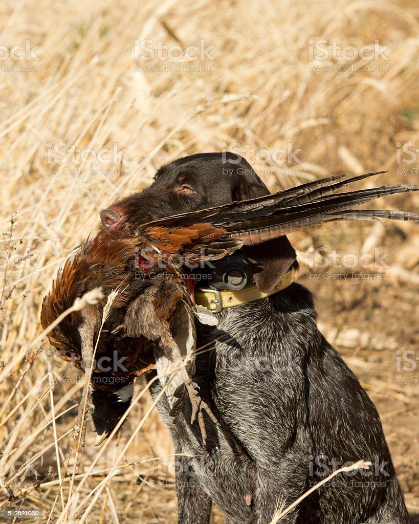 Pheasant Hunting stock photo