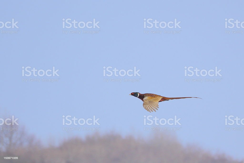 pheasant in flight royalty-free stock photo