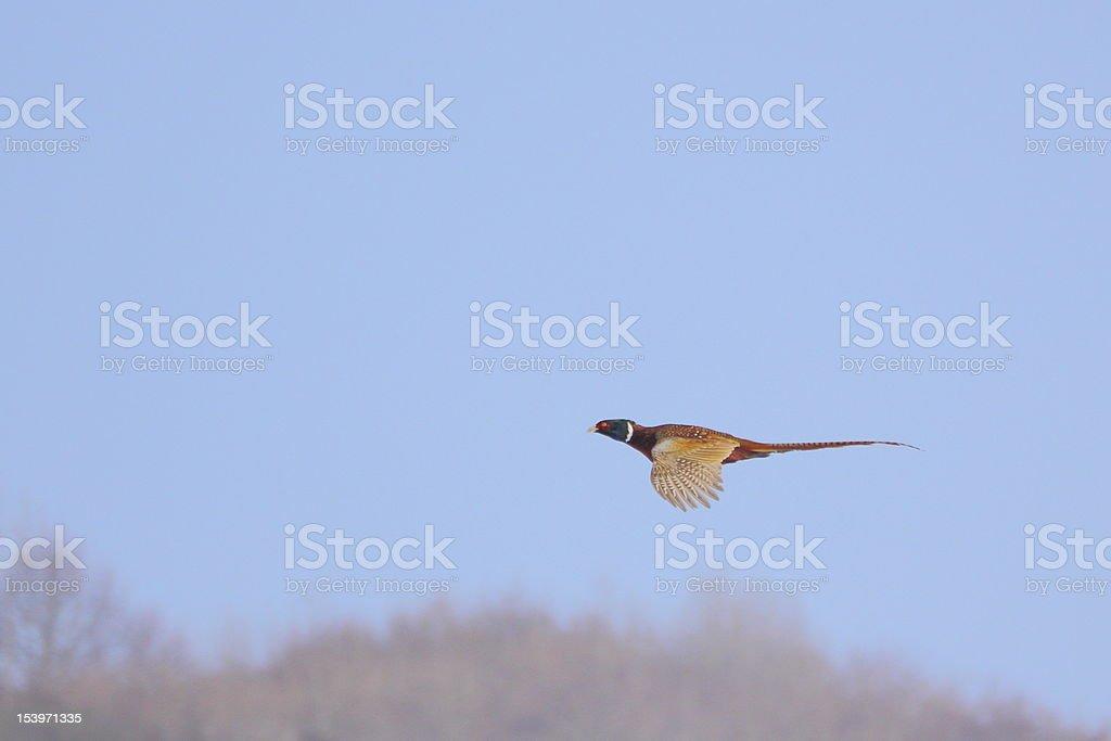pheasant in flight stock photo