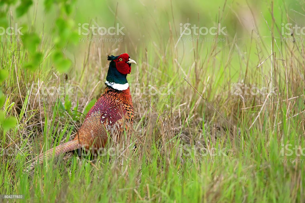 Pheasant in the grass stock photo
