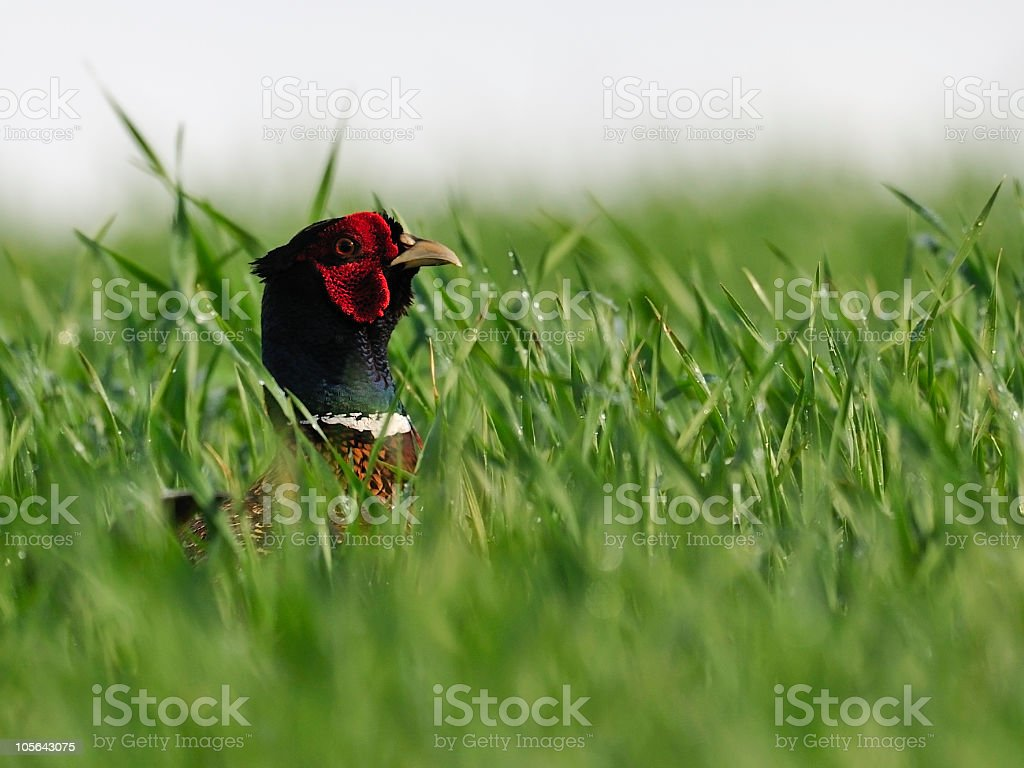 Pheasant male i a wet field royalty-free stock photo