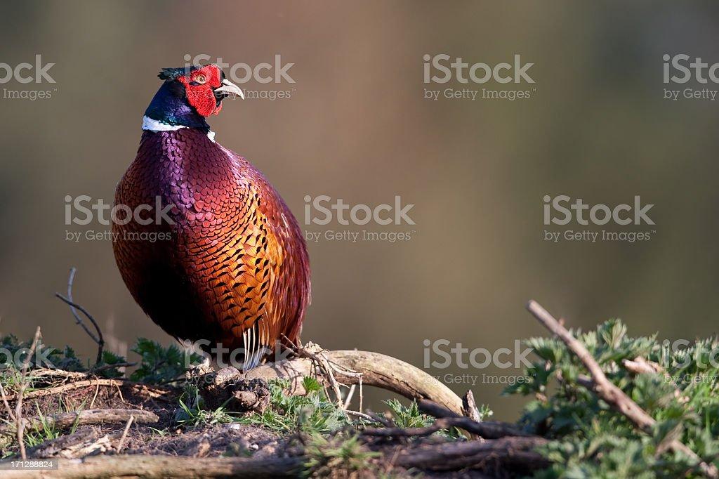Pheasant (Phasianus colchicus) stock photo