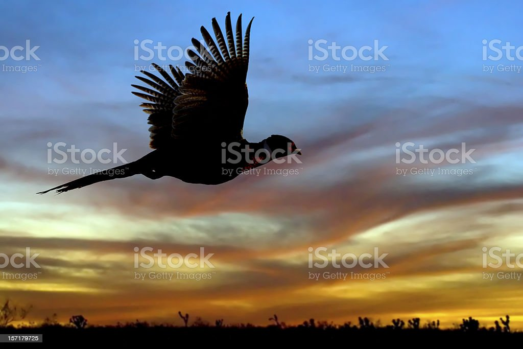 Pheasant Silhouette at Sunset stock photo