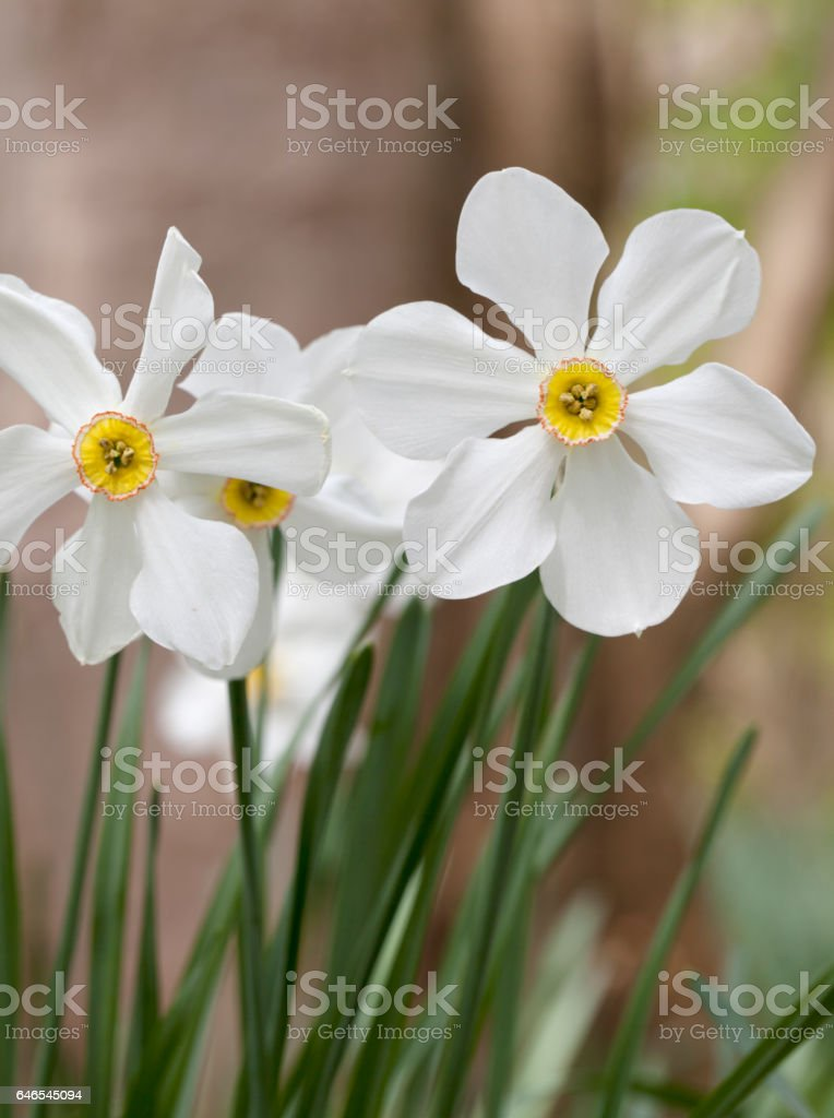 Pheasant's Eye Daffodil (Narcissus poeticus) stock photo