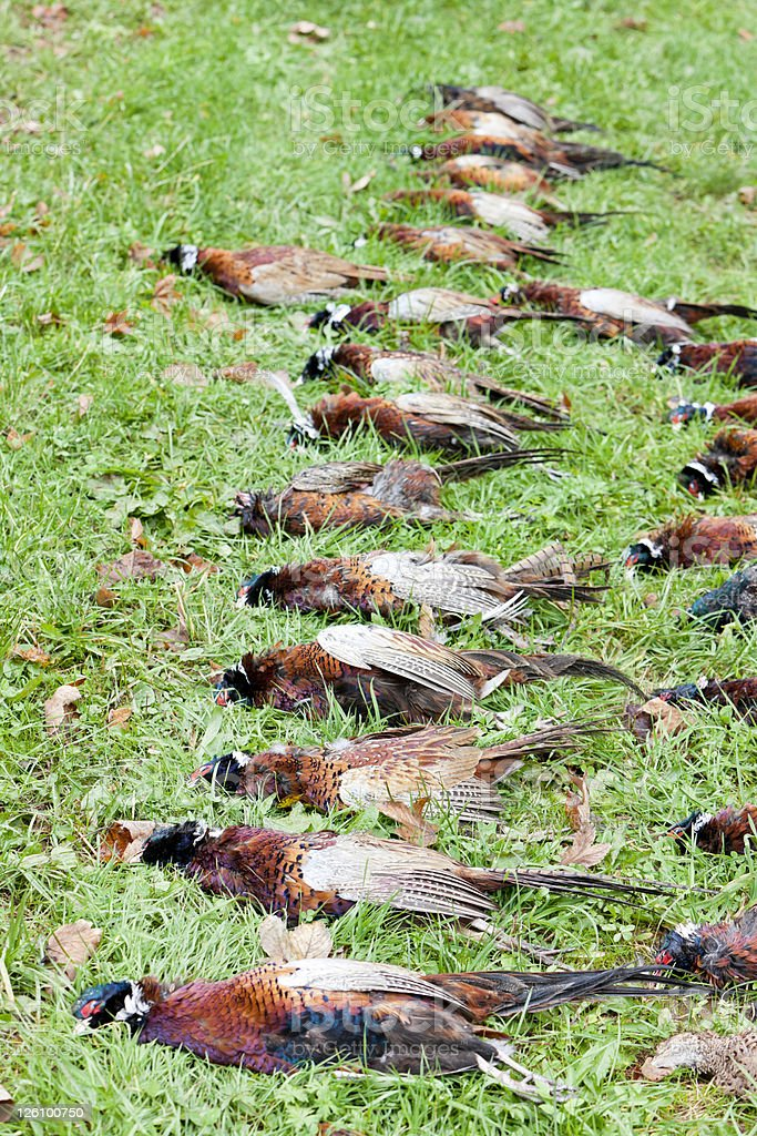 pheasants royalty-free stock photo