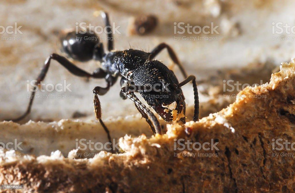 Pheidole, Ant, BlackAnt stock photo