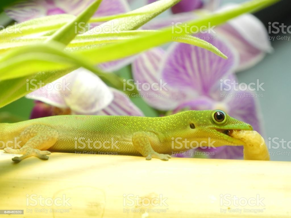 Phelsuma klemmeri stock photo